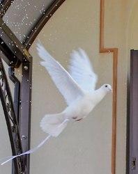 gołębie białe sprzedam